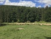 ovce na salasi
